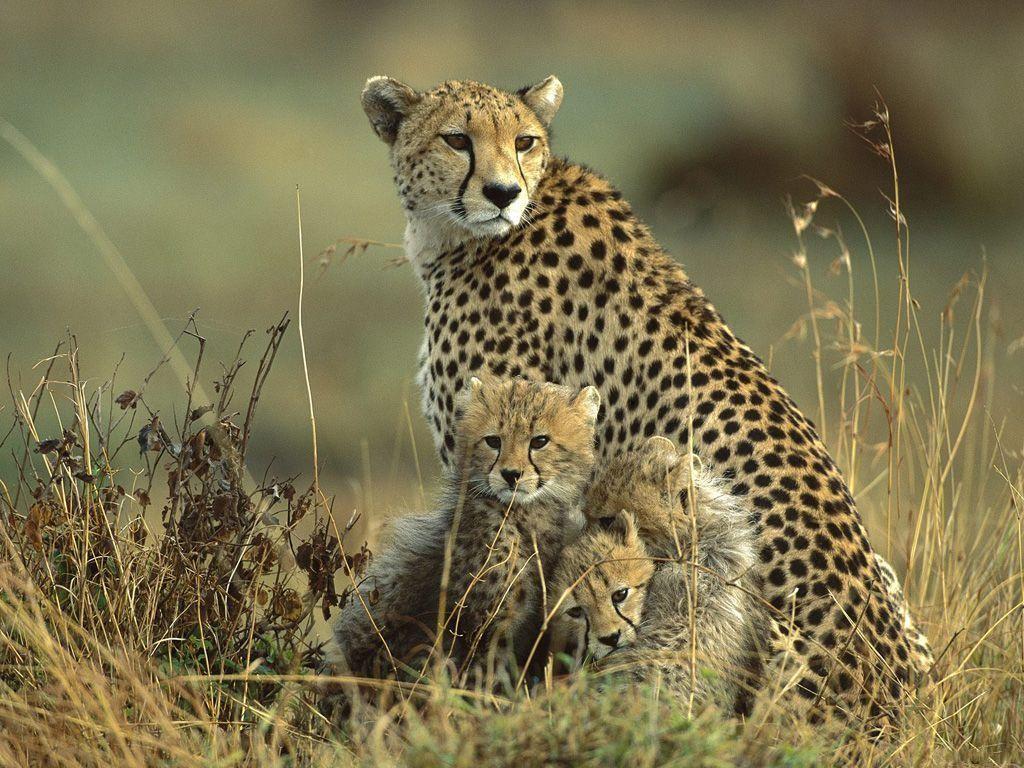 021 zvířata - gepardí rodinka