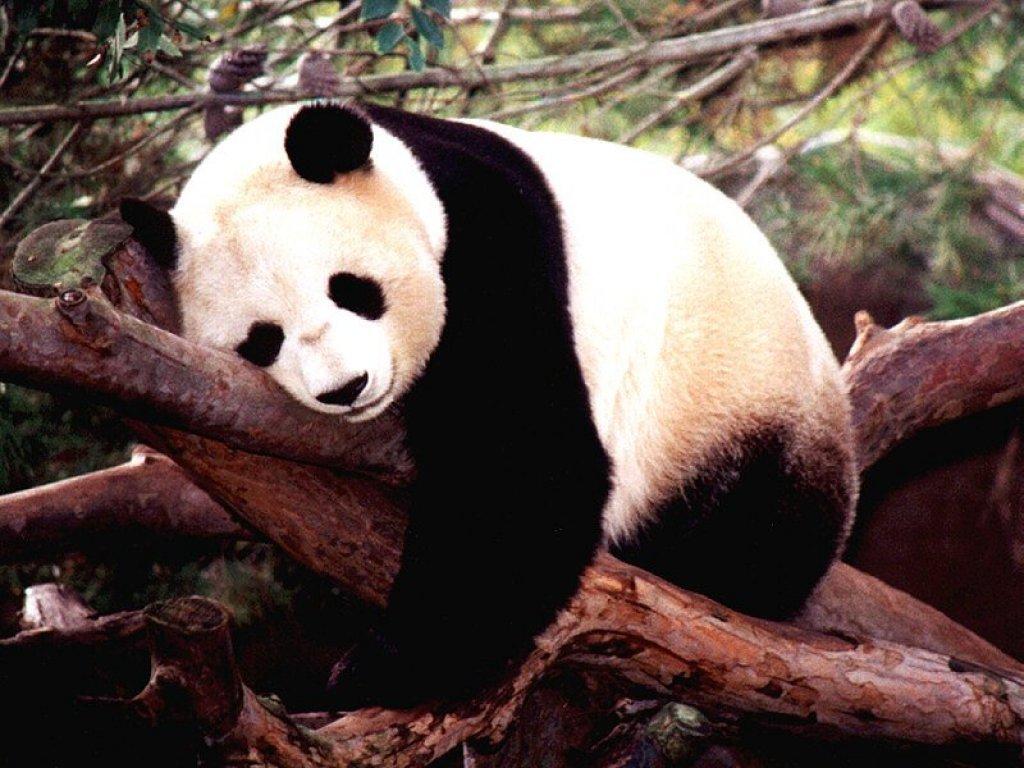 020 zvířata - medvídek panda