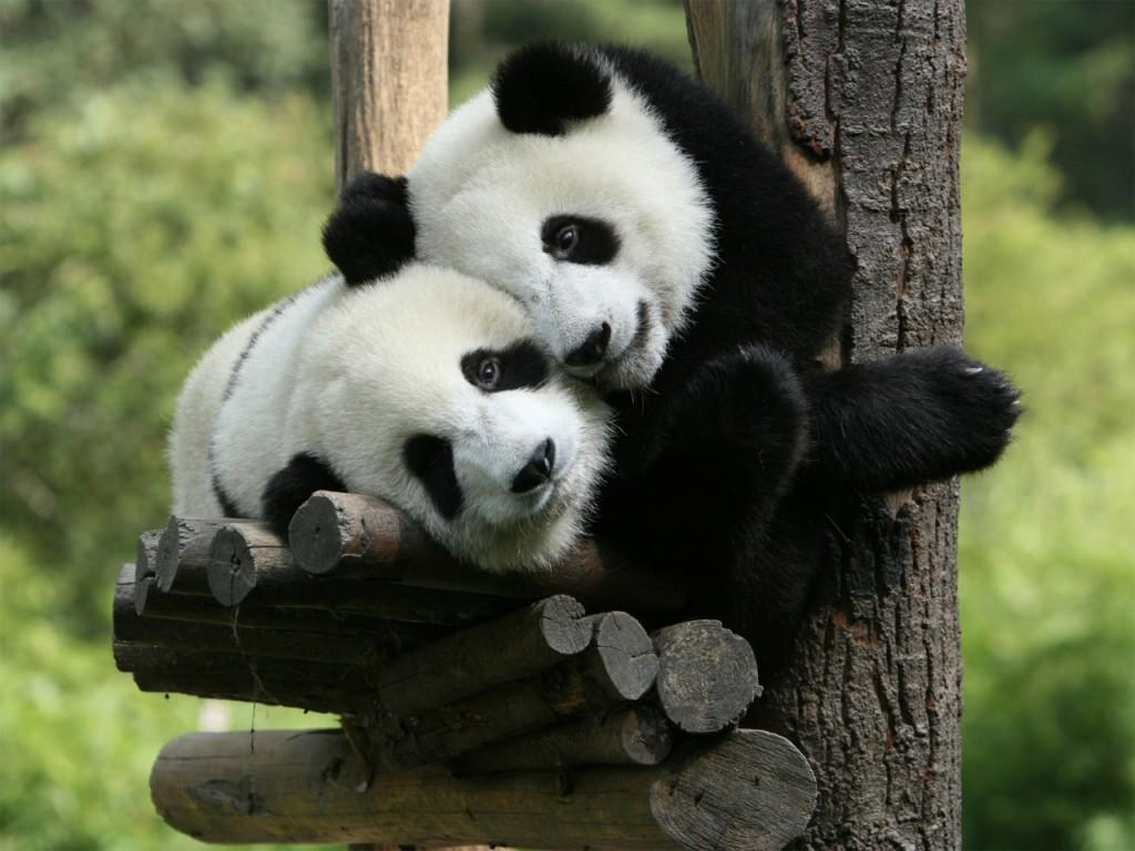 021 zvířata - medvídek panda