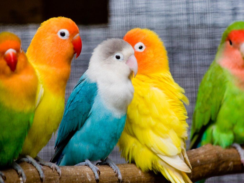 022 ptáci - papoušci - birds - parrots