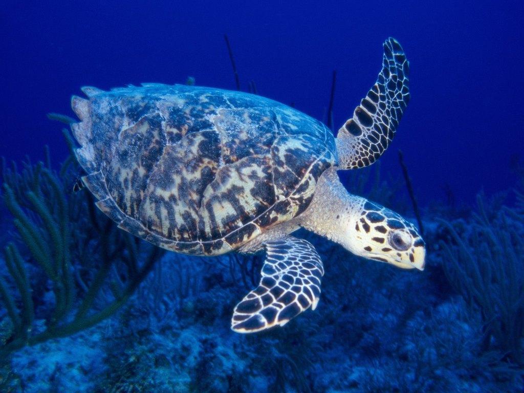 022 ryby - mořská želva
