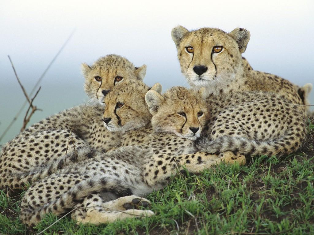 022 zvířata - gepardí rodinka