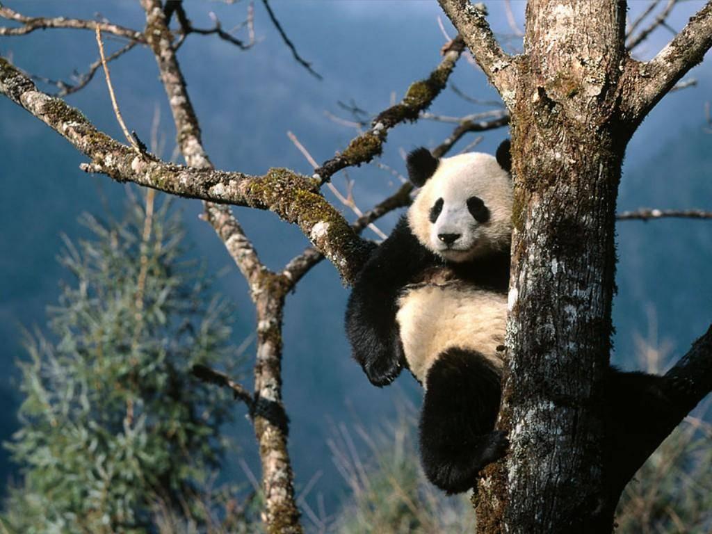 022 zvířata - medvídek panda