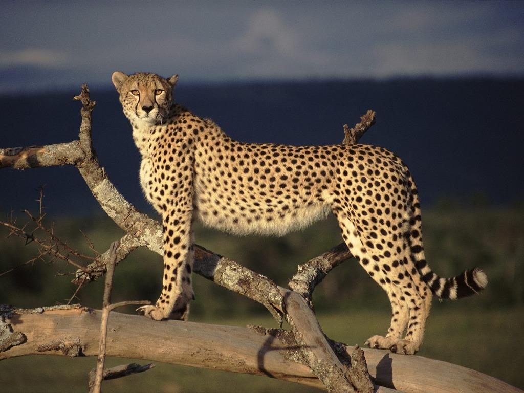 023 zvířata - gepard