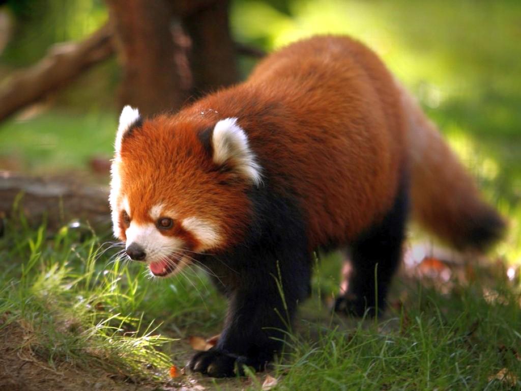 023 zvířata - medvídek panda červená
