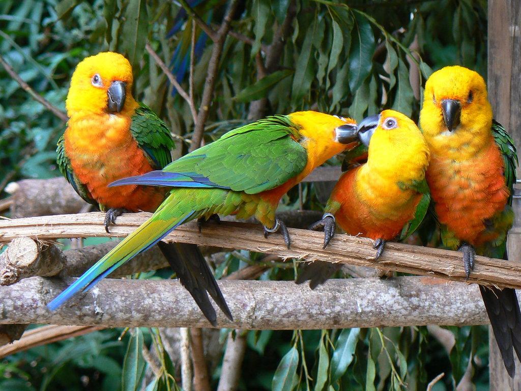 024 ptáci - papoušci - birds - parrots