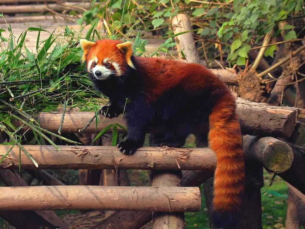 024 zvířata - medvídek panda červená