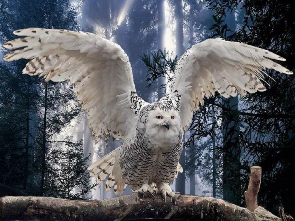 025 ptáci - sova sněžná - birds - owl