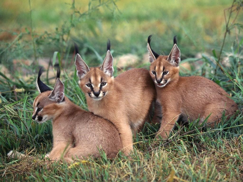 025 zvířata - karakal