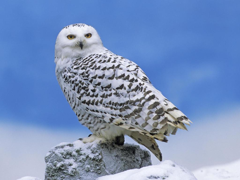 026 ptáci - sova sněžná - birds - owl