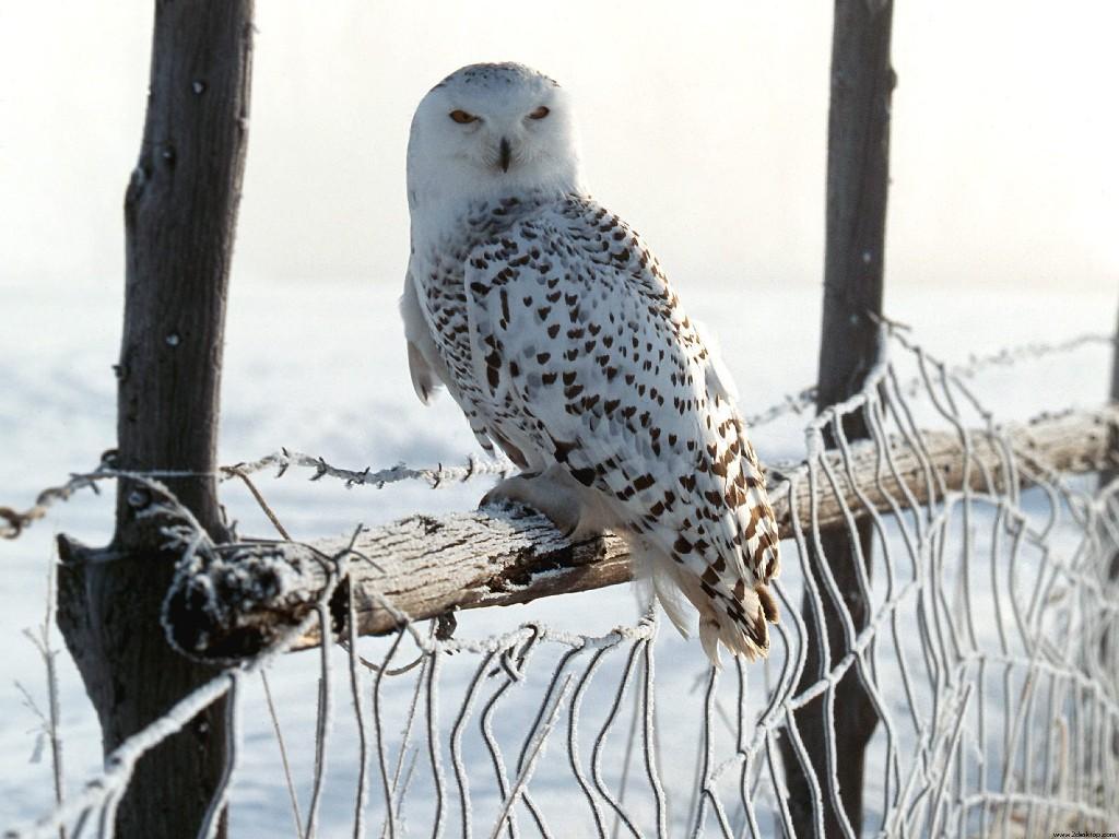 027 ptáci - sova sněžná - birds - owl