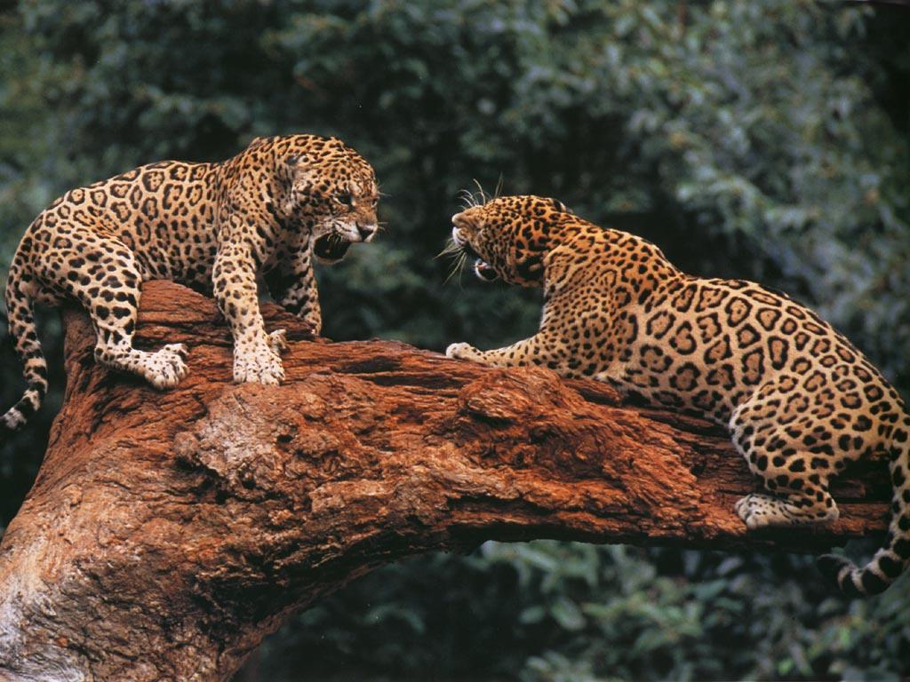 027 zvířata - levhart - leopard