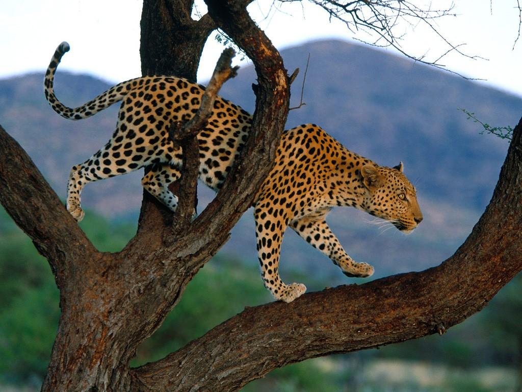 028 zvířata - levhart - leopard