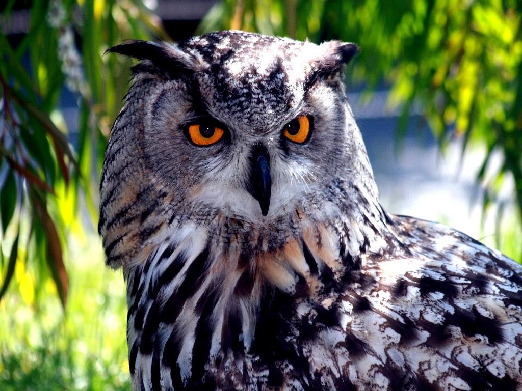 029 ptáci - sova - birds - owl