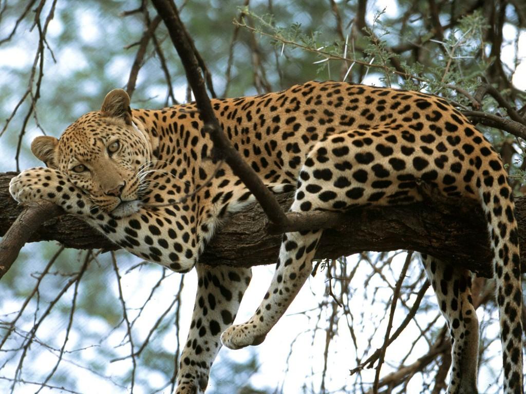 029 zvířata - levhart - leopard