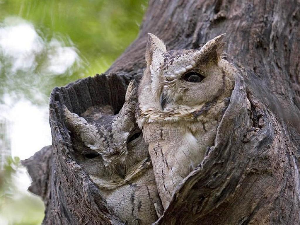 030 ptáci - sova - birds - owl
