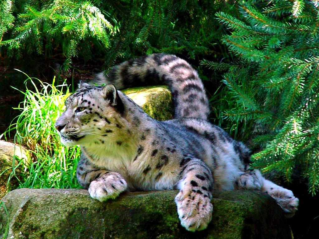 030 zvířata - levhart bílý - leopard white