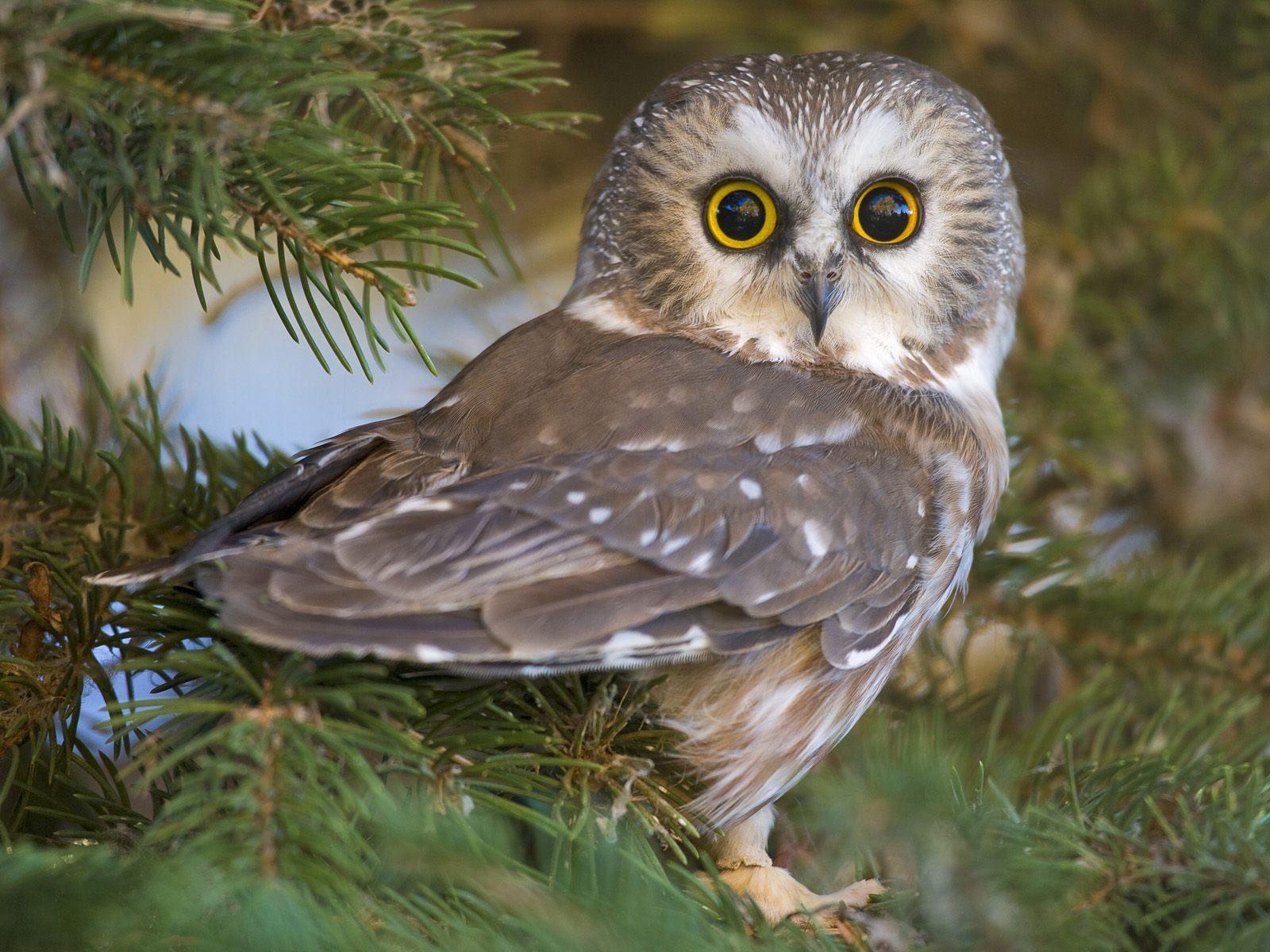 032 ptáci - sova - birds - owl