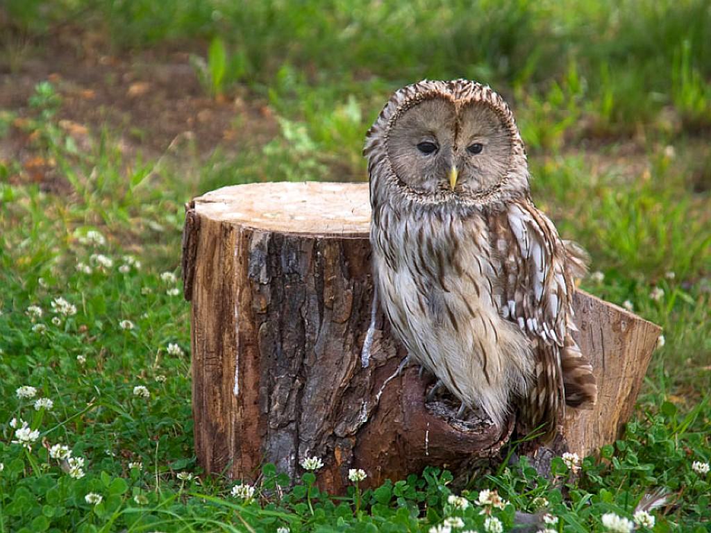 033 ptáci - sova - birds - owl
