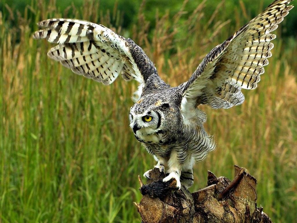 034 ptáci - sova - birds - owl