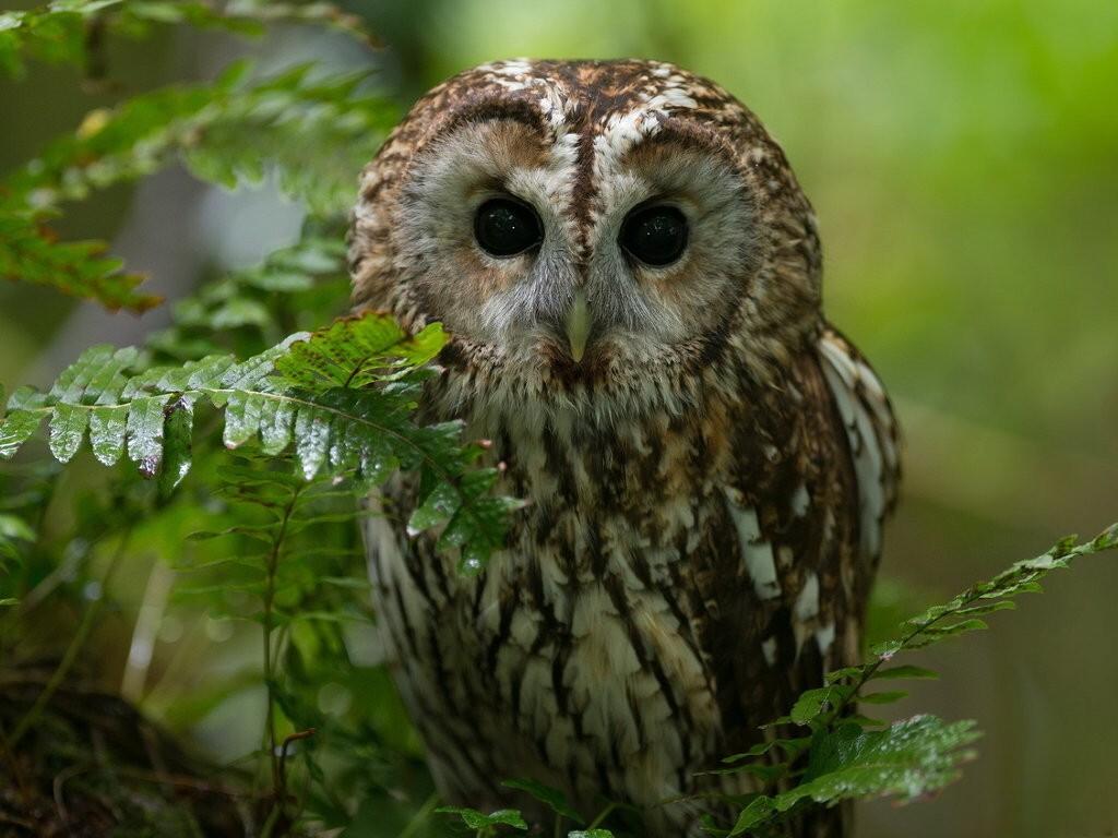 035 ptáci - sova - birds - owl