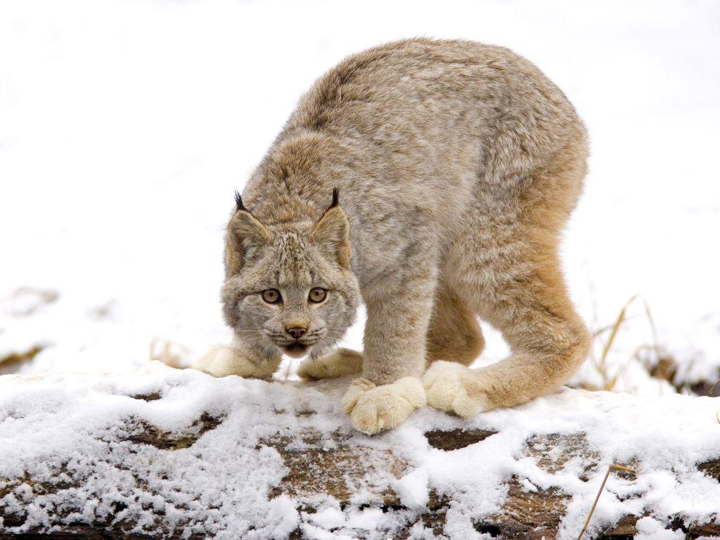 035 zvířata - rys bílý