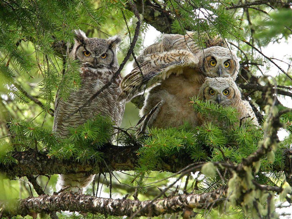 036 ptáci - sova - birds - owl
