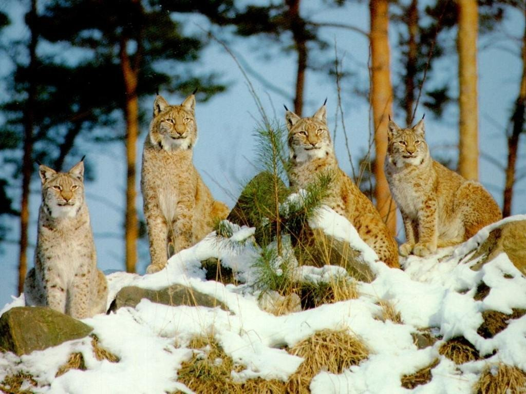 036 zvířata - rysí rodina