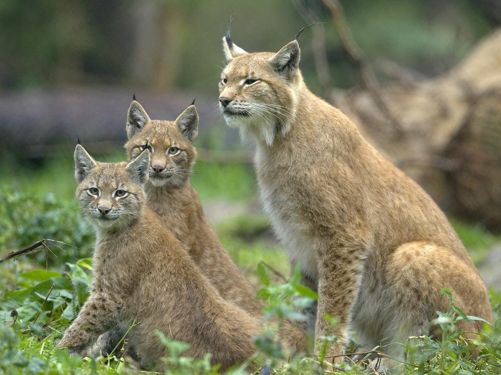 037 zvířata - rysí rodinka