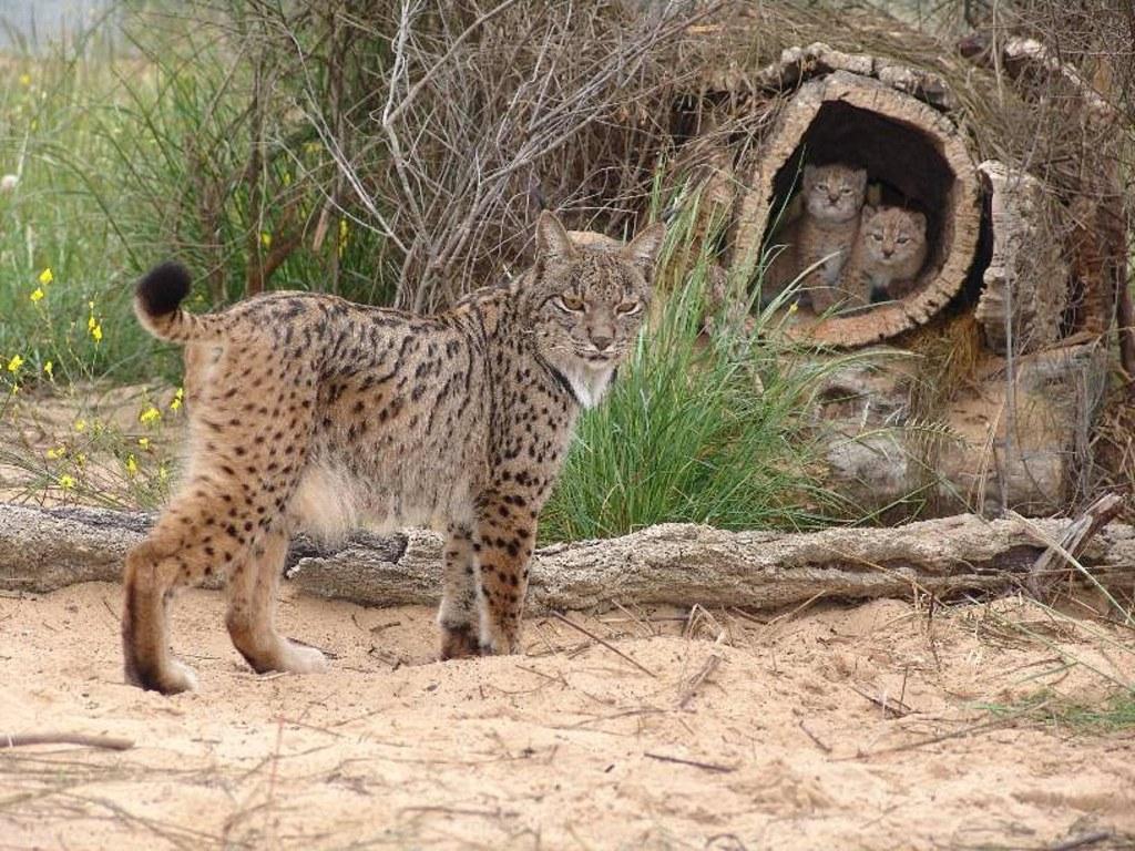 039 zvířata - rysí rodinka