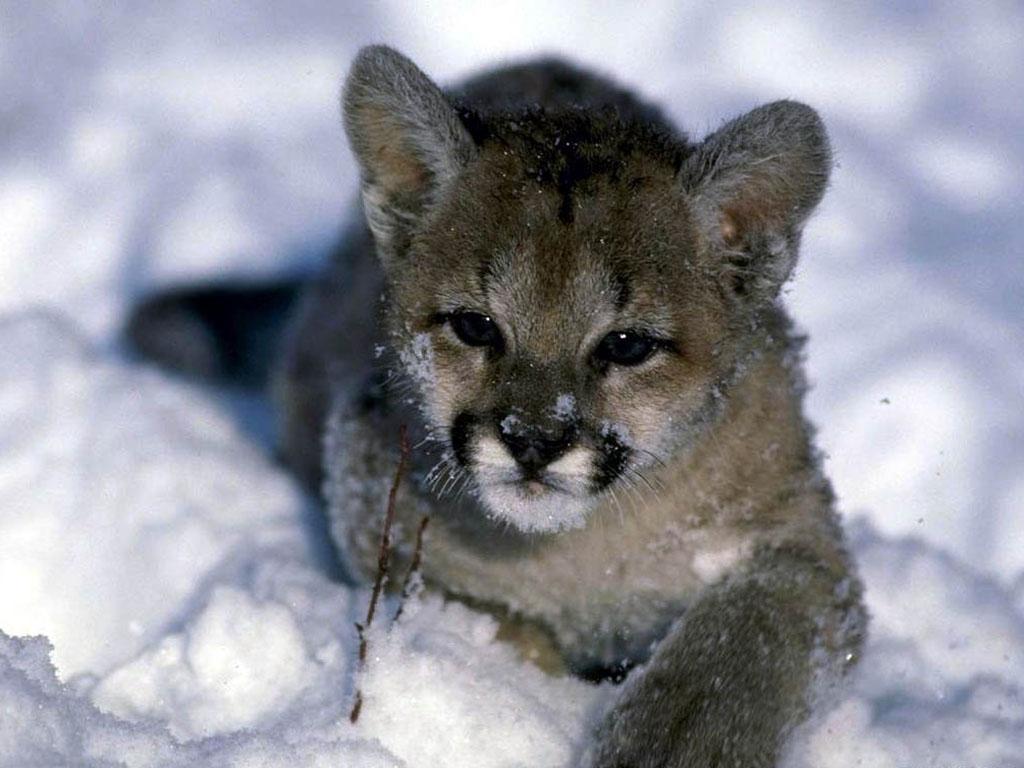 041 zvířata - puma - mládě