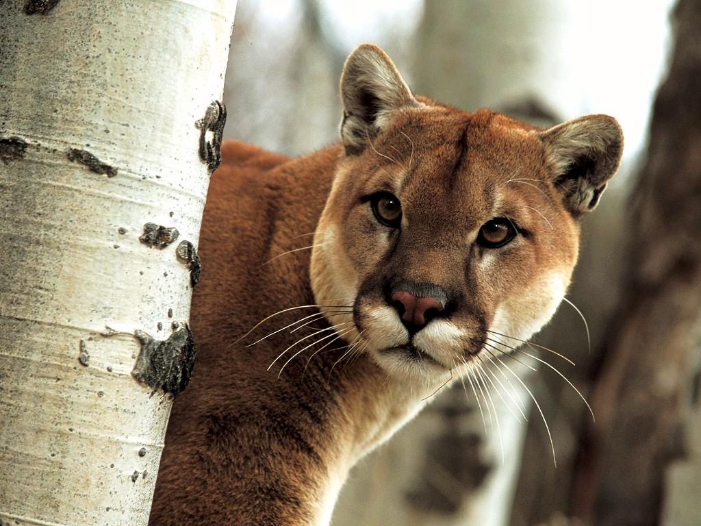 046 zvířata - puma