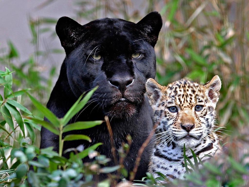 048 - černá puma a leopardí mládě